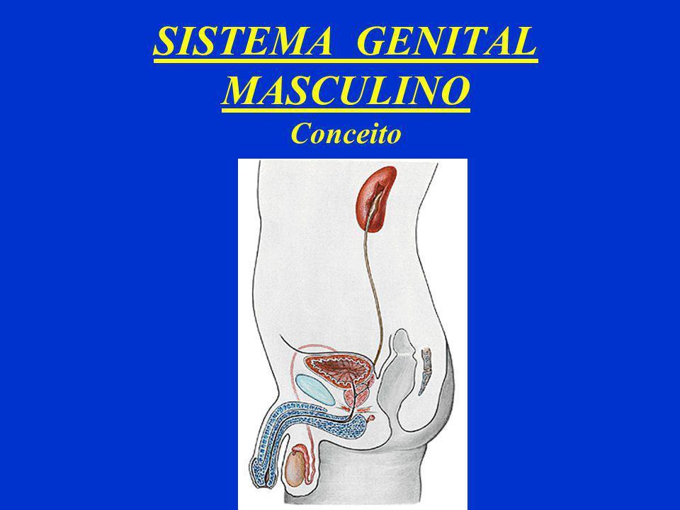 SISTEMA GENITAL MASCULINO Conceito