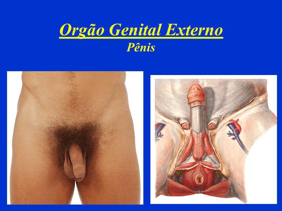 Orgão Genital Externo Pênis