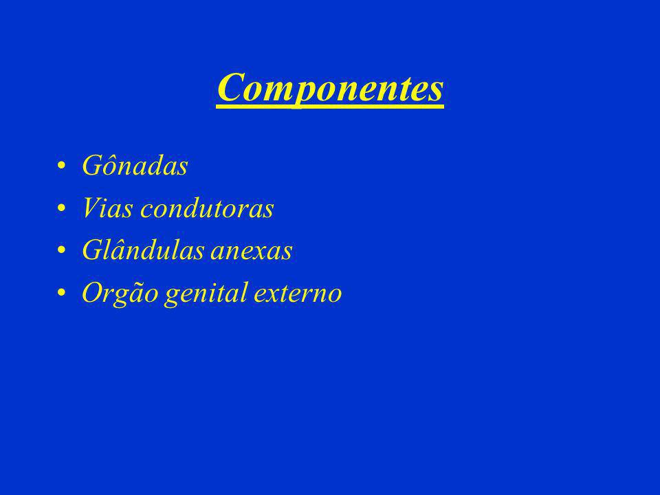 Componentes Gônadas Vias condutoras Glândulas anexas