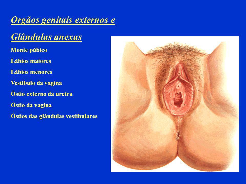 Orgãos genitais externos e Glândulas anexas