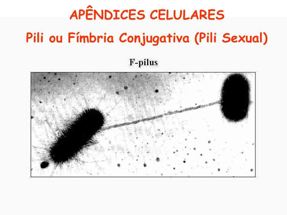 Pili ou Fímbria Conjugativa (Pili Sexual)