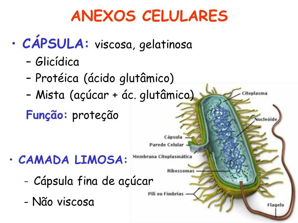 ANEXOS CELULARES CÁPSULA: viscosa, gelatinosa Glicídica