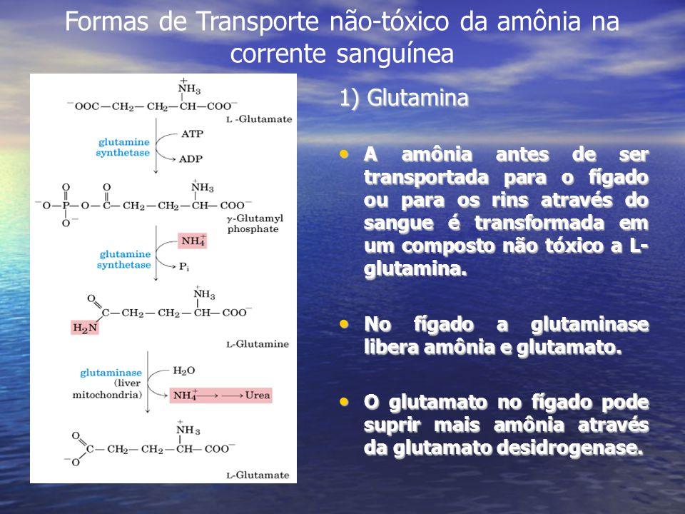 Formas de Transporte não-tóxico da amônia na corrente sanguínea