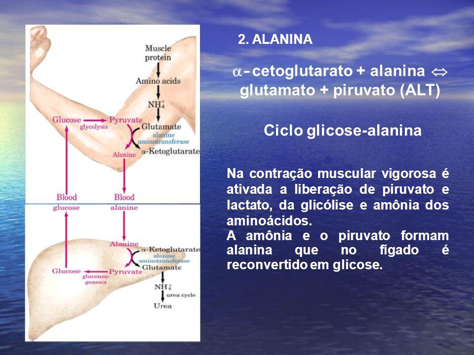 -cetoglutarato + alanina  glutamato + piruvato (ALT)