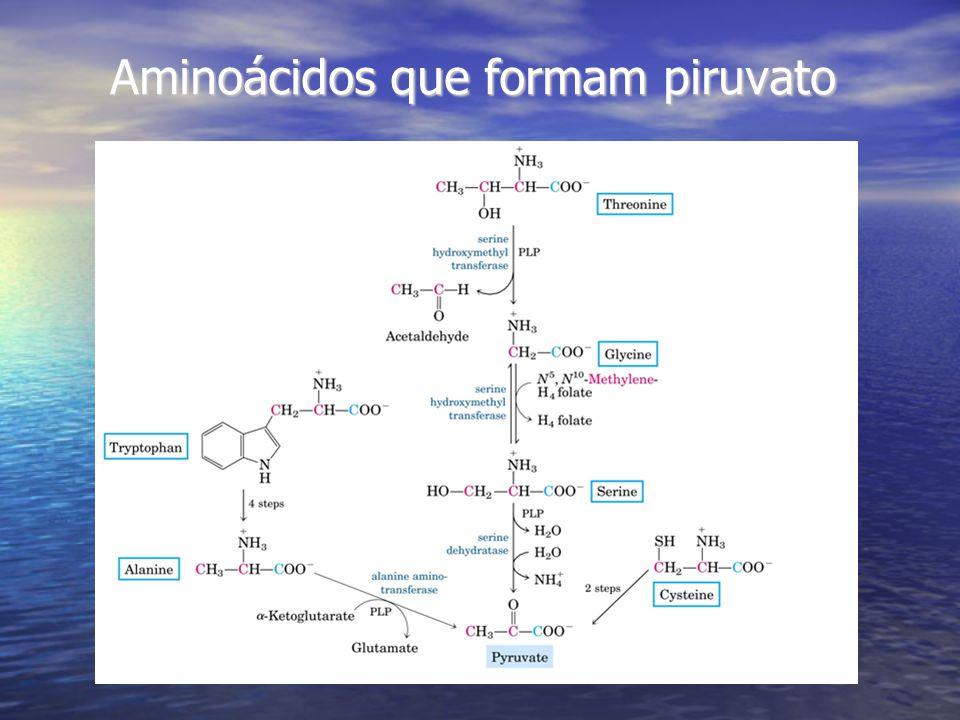 Aminoácidos que formam piruvato