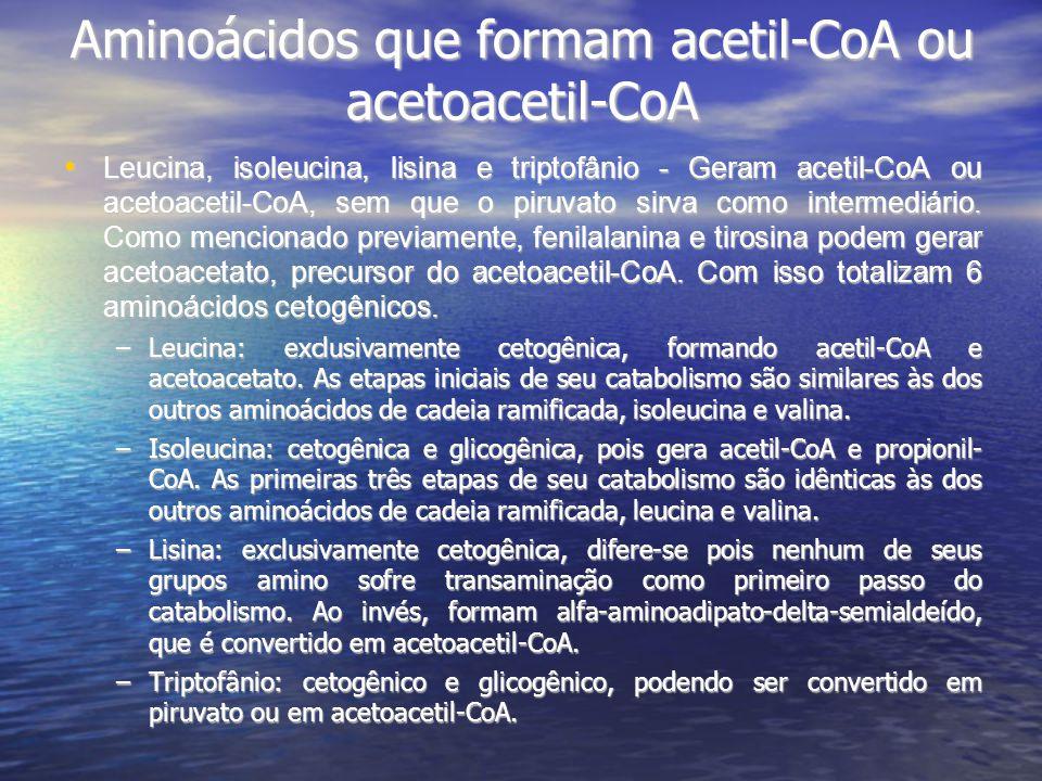Aminoácidos que formam acetil-CoA ou acetoacetil-CoA