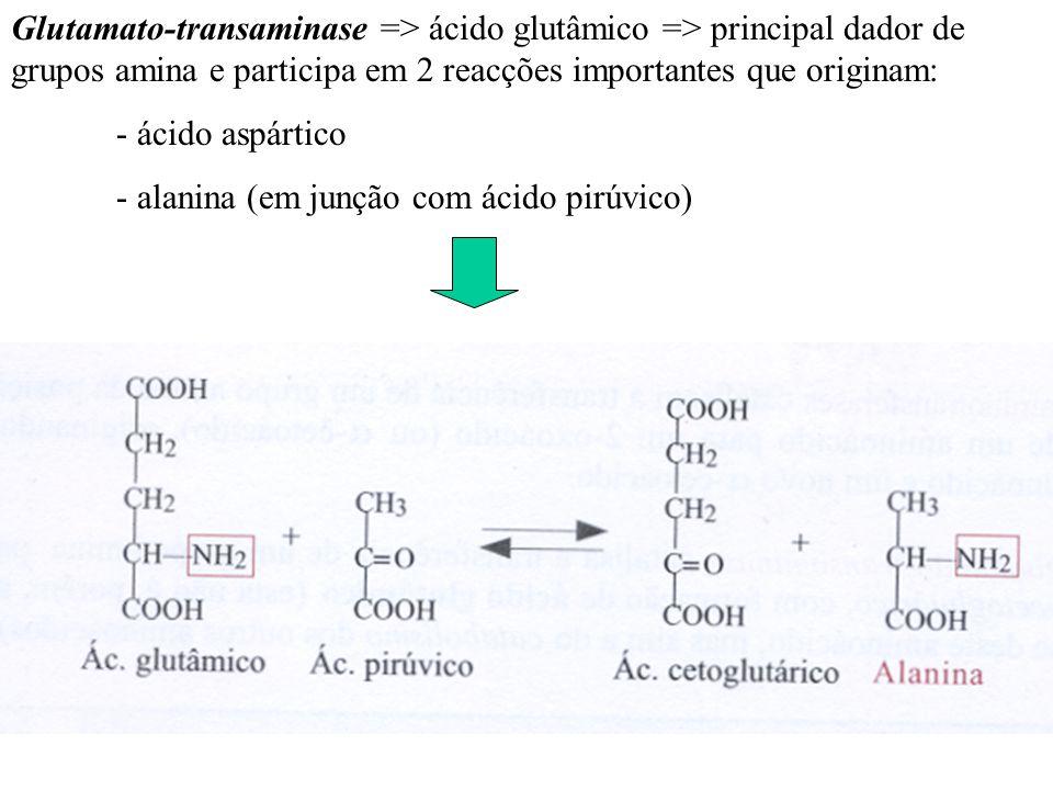 Glutamato-transaminase => ácido glutâmico => principal dador de grupos amina e participa em 2 reacções importantes que originam: