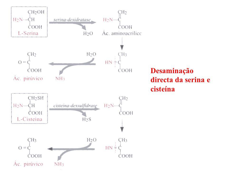 Desaminação directa da serina e cisteína