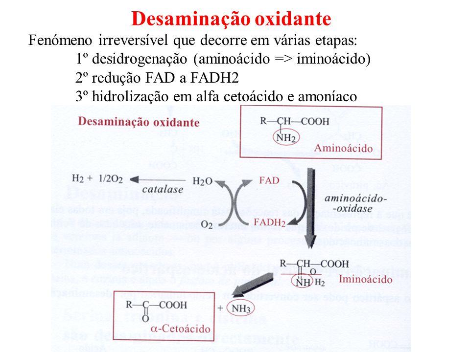 Desaminação oxidante Fenómeno irreversível que decorre em várias etapas: 1º desidrogenação (aminoácido => iminoácido)