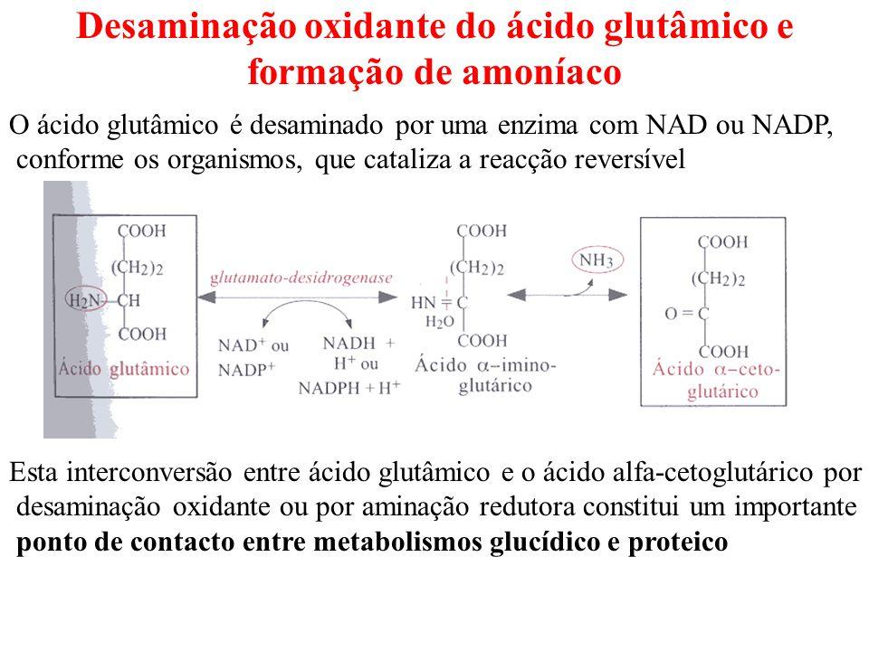 Desaminação oxidante do ácido glutâmico e formação de amoníaco