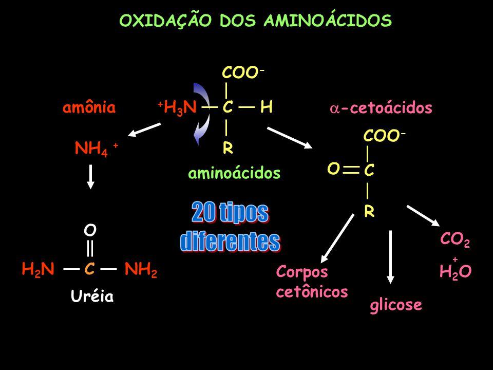 20 tipos diferentes OXIDAÇÃO DOS AMINOÁCIDOS COO- C H R +H3N