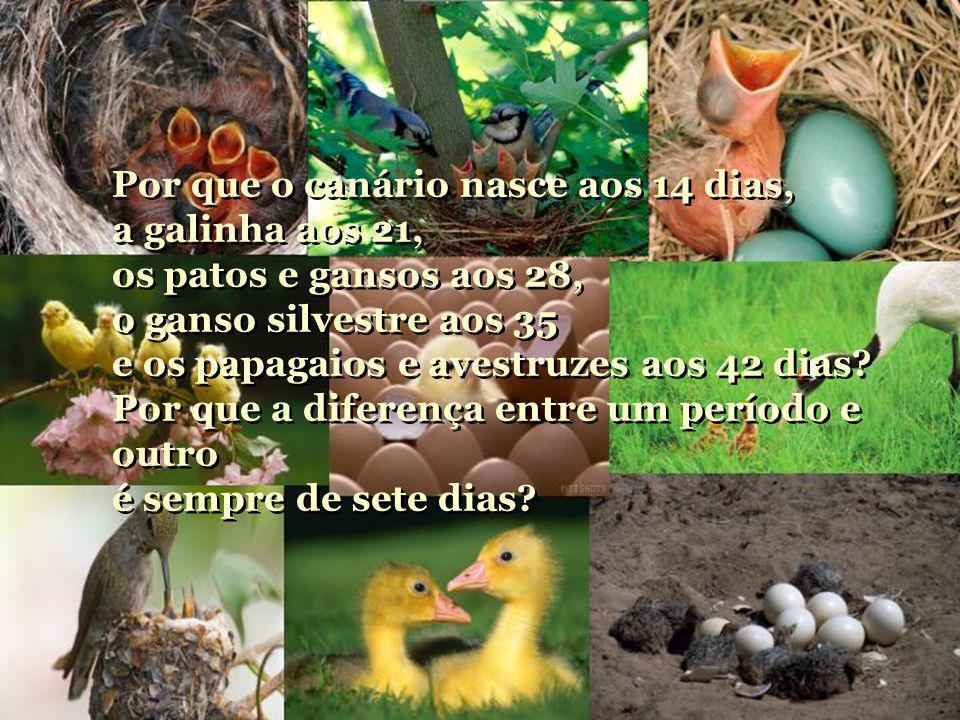 Por que o canário nasce aos 14 dias, a galinha aos 21,
