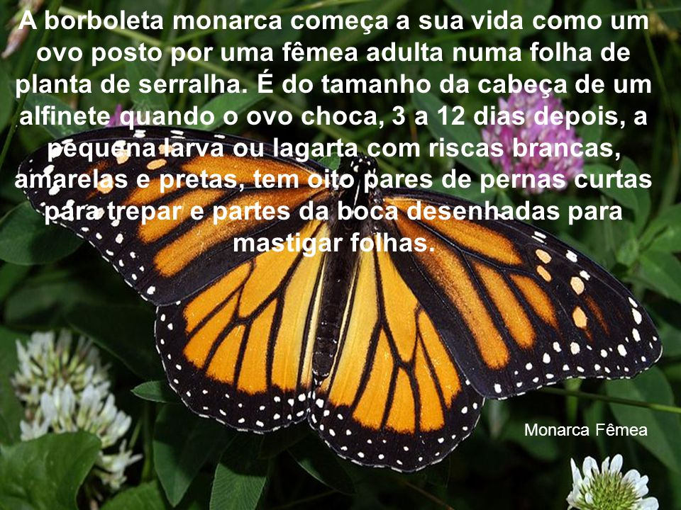 A borboleta monarca começa a sua vida como um ovo posto por uma fêmea adulta numa folha de planta de serralha. É do tamanho da cabeça de um alfinete quando o ovo choca, 3 a 12 dias depois, a pequena larva ou lagarta com riscas brancas, amarelas e pretas, tem oito pares de pernas curtas para trepar e partes da boca desenhadas para mastigar folhas.