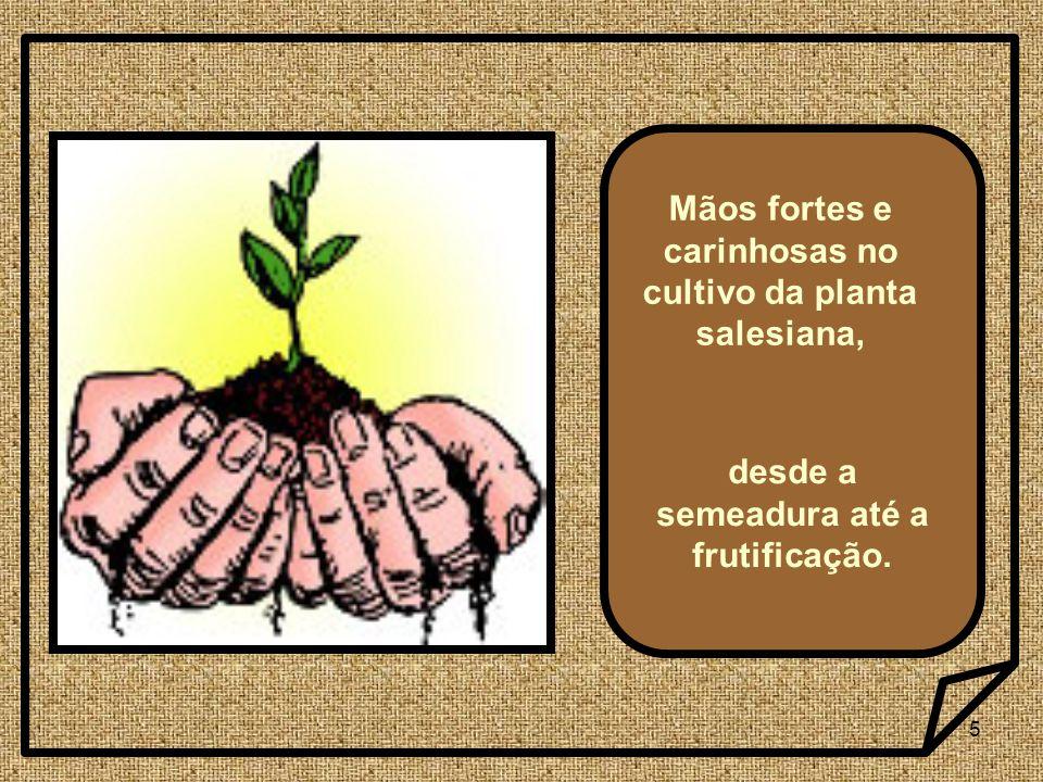 Mãos fortes e carinhosas no cultivo da planta salesiana,