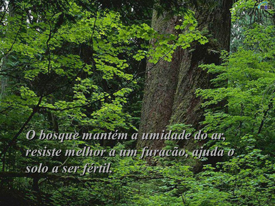 O bosque mantém a umidade do ar, resiste melhor a um furacão, ajuda o solo a ser fértil.