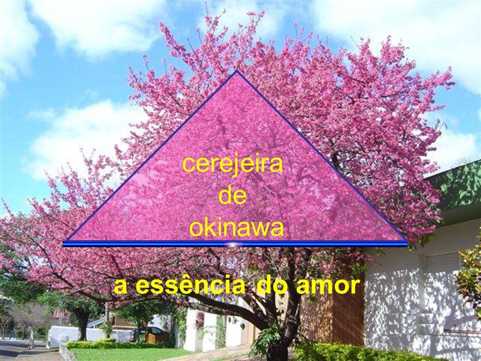 cerejeira de okinawa a essência do amor