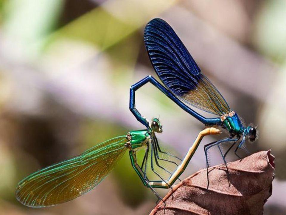 Reprodução dos insetos: