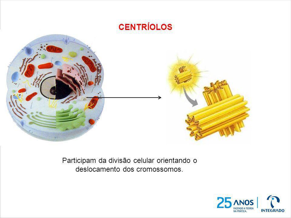 CENTRÍOLOS Participam da divisão celular orientando o deslocamento dos cromossomos.