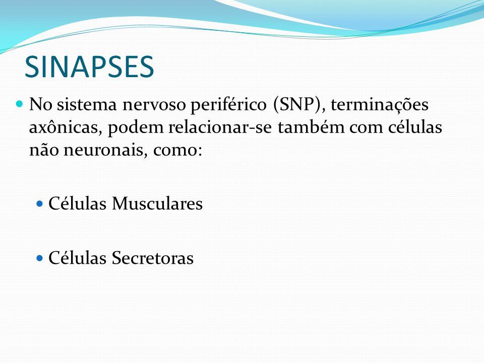 SINAPSES No sistema nervoso periférico (SNP), terminações axônicas, podem relacionar-se também com células não neuronais, como: