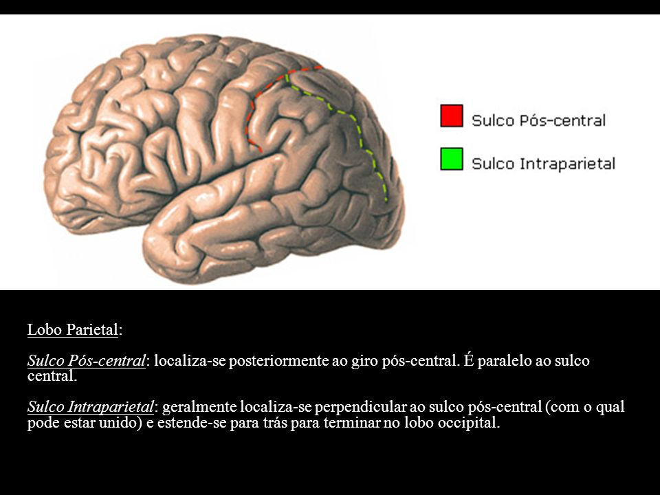 Lobo Parietal: Sulco Pós-central: localiza-se posteriormente ao giro pós-central. É paralelo ao sulco central.