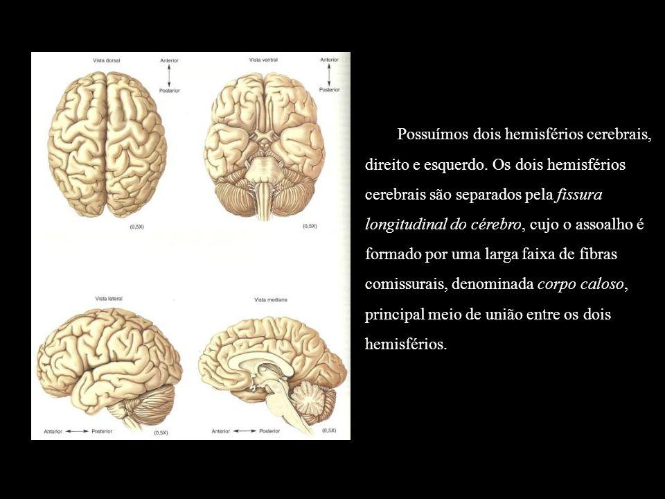 Possuímos dois hemisférios cerebrais, direito e esquerdo