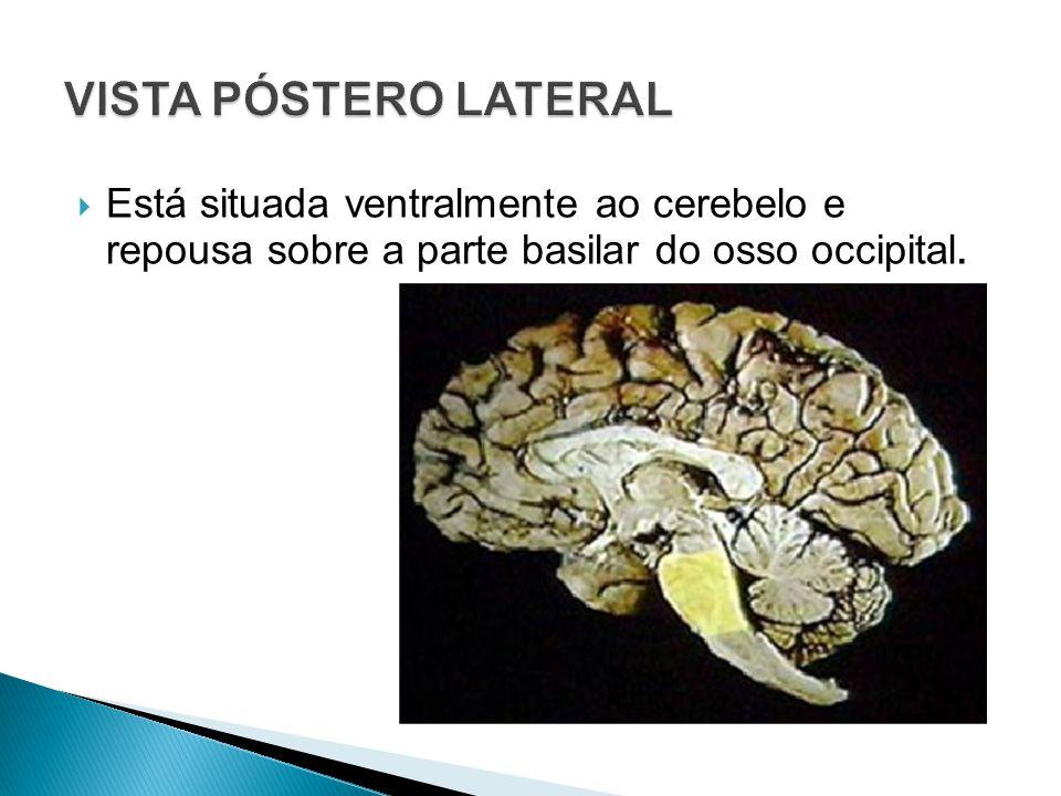 VISTA PÓSTERO LATERAL Está situada ventralmente ao cerebelo e repousa sobre a parte basilar do osso occipital.