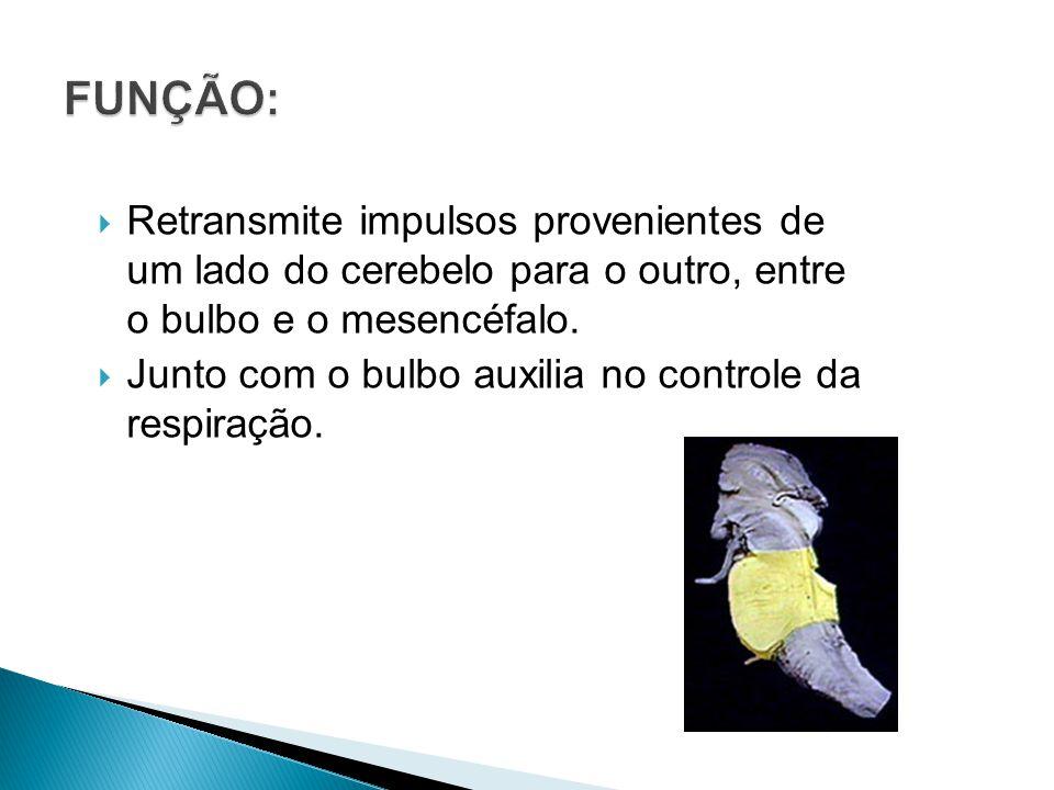 FUNÇÃO: Retransmite impulsos provenientes de um lado do cerebelo para o outro, entre o bulbo e o mesencéfalo.