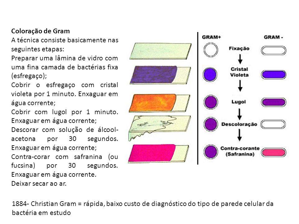 Coloração de Gram A técnica consiste basicamente nas seguintes etapas: