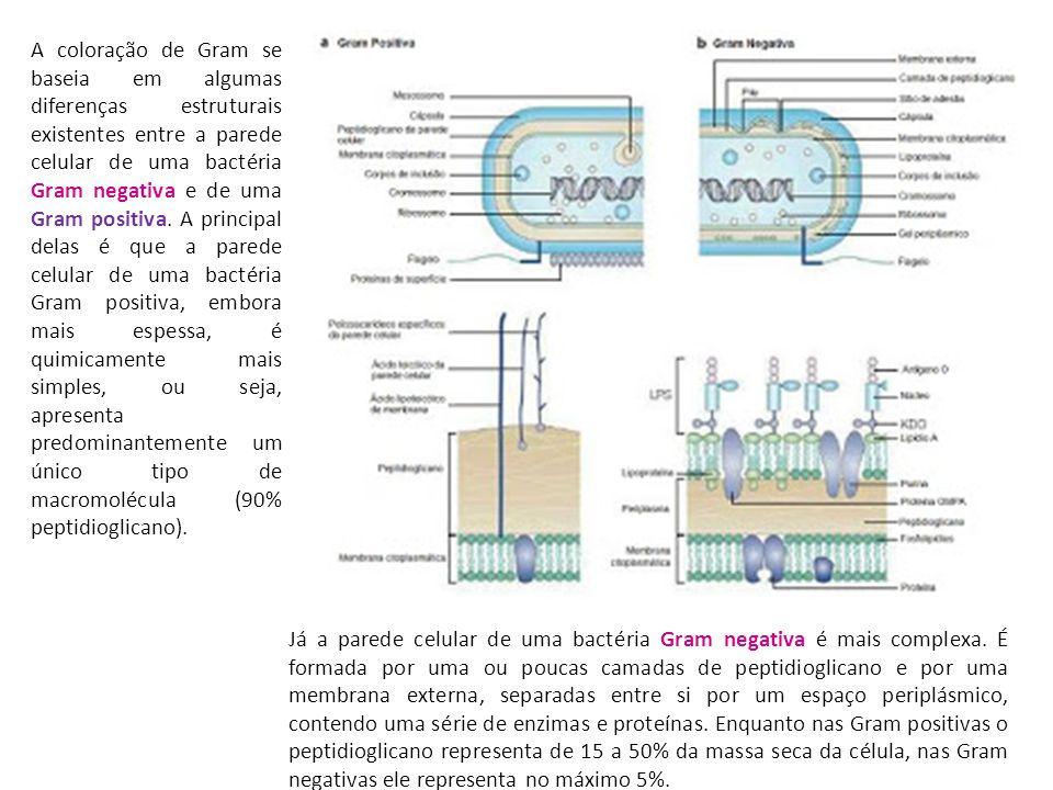 A coloração de Gram se baseia em algumas diferenças estruturais existentes entre a parede celular de uma bactéria Gram negativa e de uma Gram positiva. A principal delas é que a parede celular de uma bactéria Gram positiva, embora mais espessa, é quimicamente mais simples, ou seja, apresenta predominantemente um único tipo de macromolécula (90% peptidioglicano).