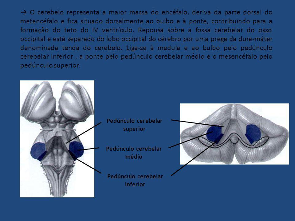 → O cerebelo representa a maior massa do encéfalo, deriva da parte dorsal do metencéfalo e fica situado dorsalmente ao bulbo e à ponte, contribuindo para a formação do teto do IV ventrículo. Repousa sobre a fossa cerebelar do osso occipital e está separado do lobo occipital do cérebro por uma prega da dura-máter denominada tenda do cerebelo. Liga-se à medula e ao bulbo pelo pedúnculo cerebelar inferior , a ponte pelo pedúnculo cerebelar médio e o mesencéfalo pelo pedúnculo superior.
