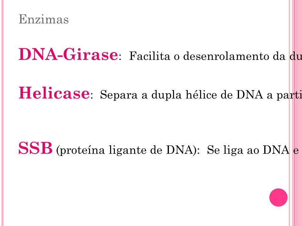 DNA-Girase: Facilita o desenrolamento da dupla hélice.