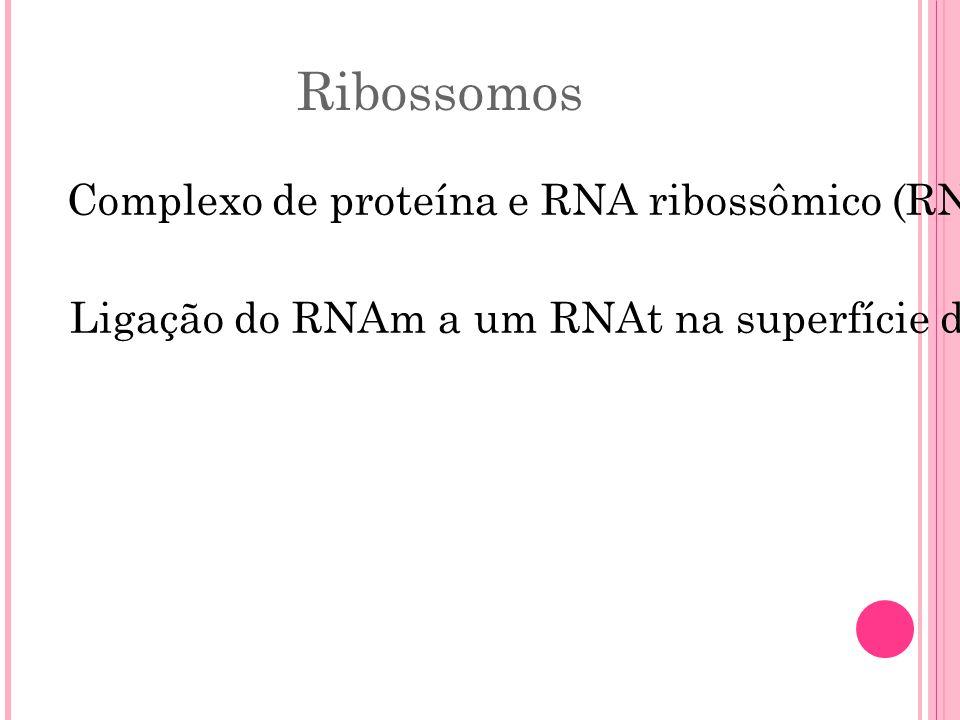 Ribossomos Ligação do RNAm a um RNAt na superfície do ribossomo.
