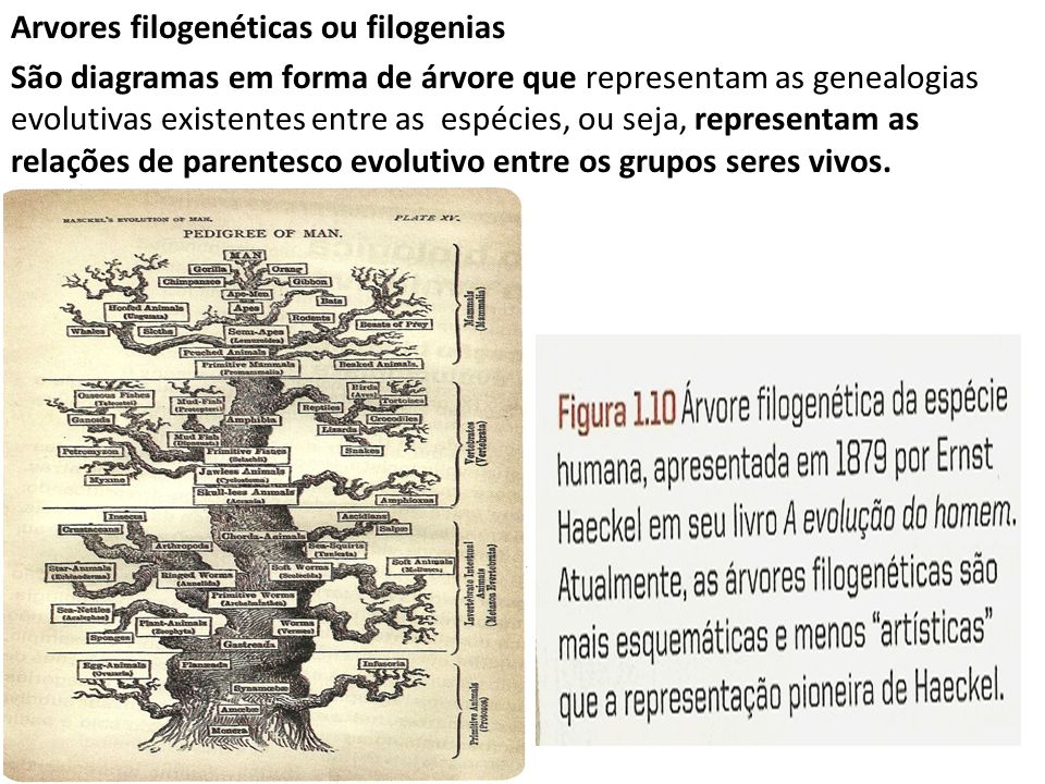 Arvores filogenéticas ou filogenias São diagramas em forma de árvore que representam as genealogias evolutivas existentes entre as espécies, ou seja, representam as relações de parentesco evolutivo entre os grupos seres vivos.