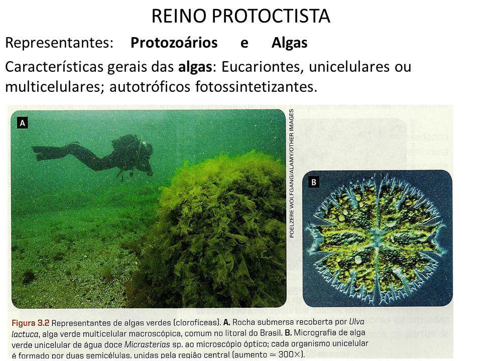 REINO PROTOCTISTA Representantes: Protozoários e Algas