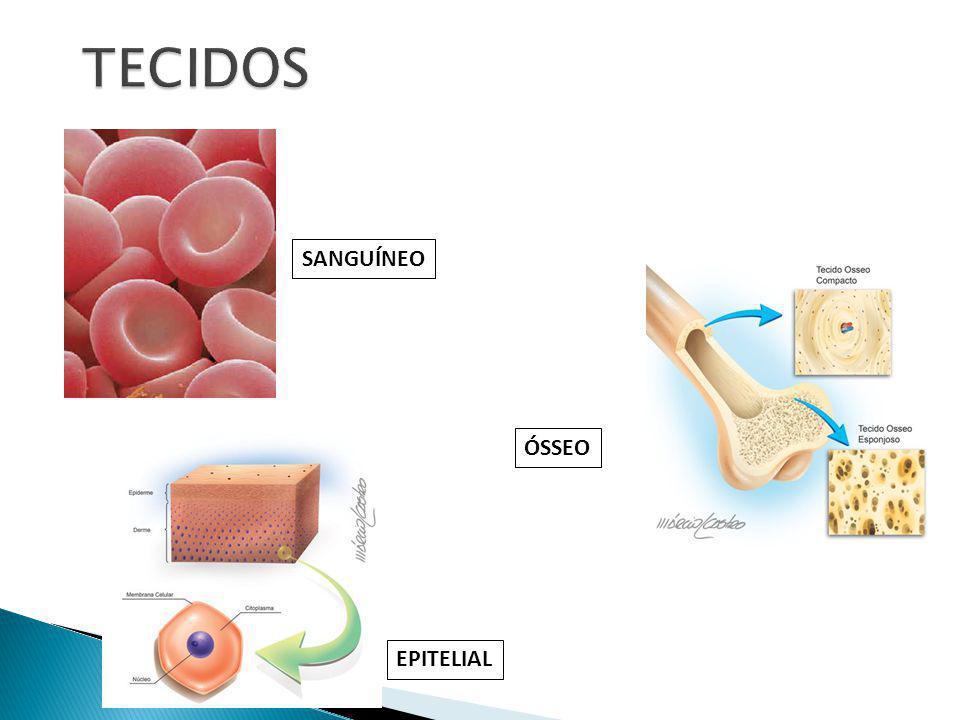 TECIDOS SANGUÍNEO ÓSSEO EPITELIAL