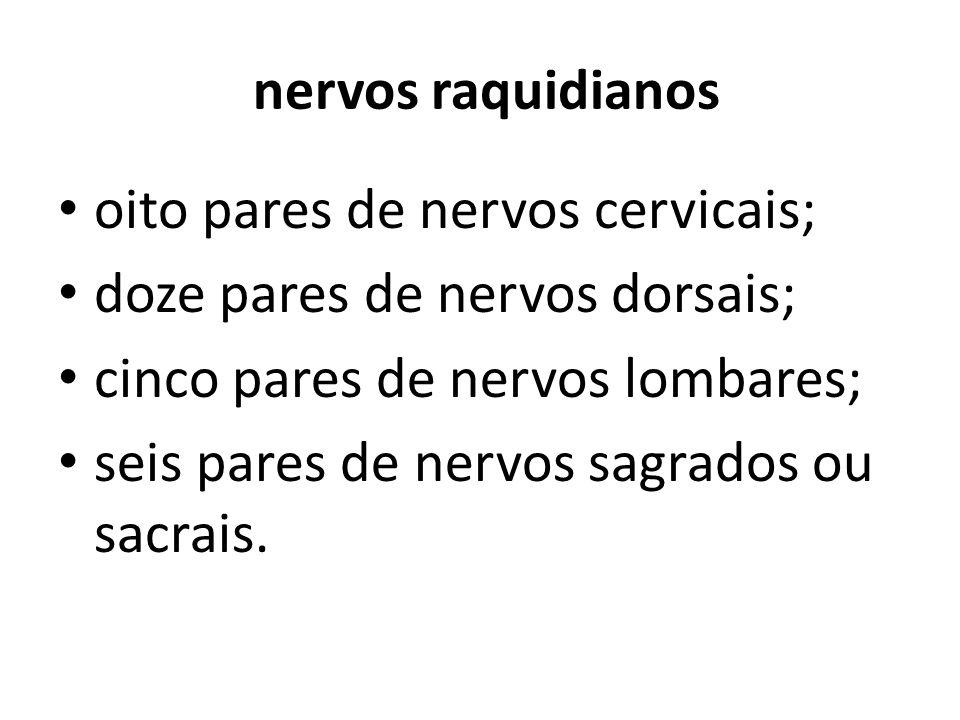 nervos raquidianos oito pares de nervos cervicais; doze pares de nervos dorsais; cinco pares de nervos lombares;