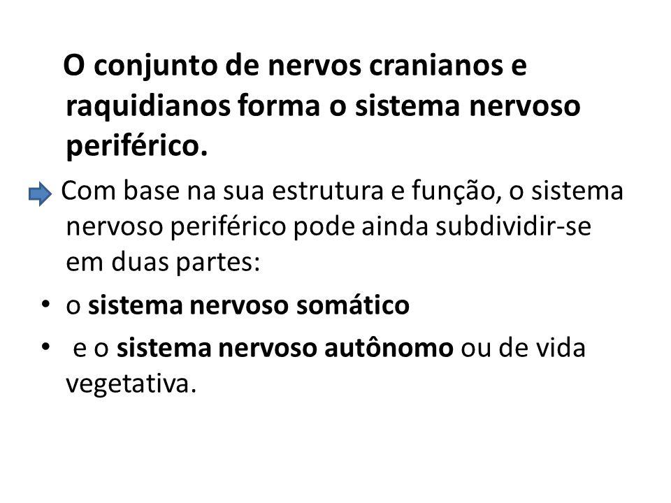 O conjunto de nervos cranianos e raquidianos forma o sistema nervoso periférico.