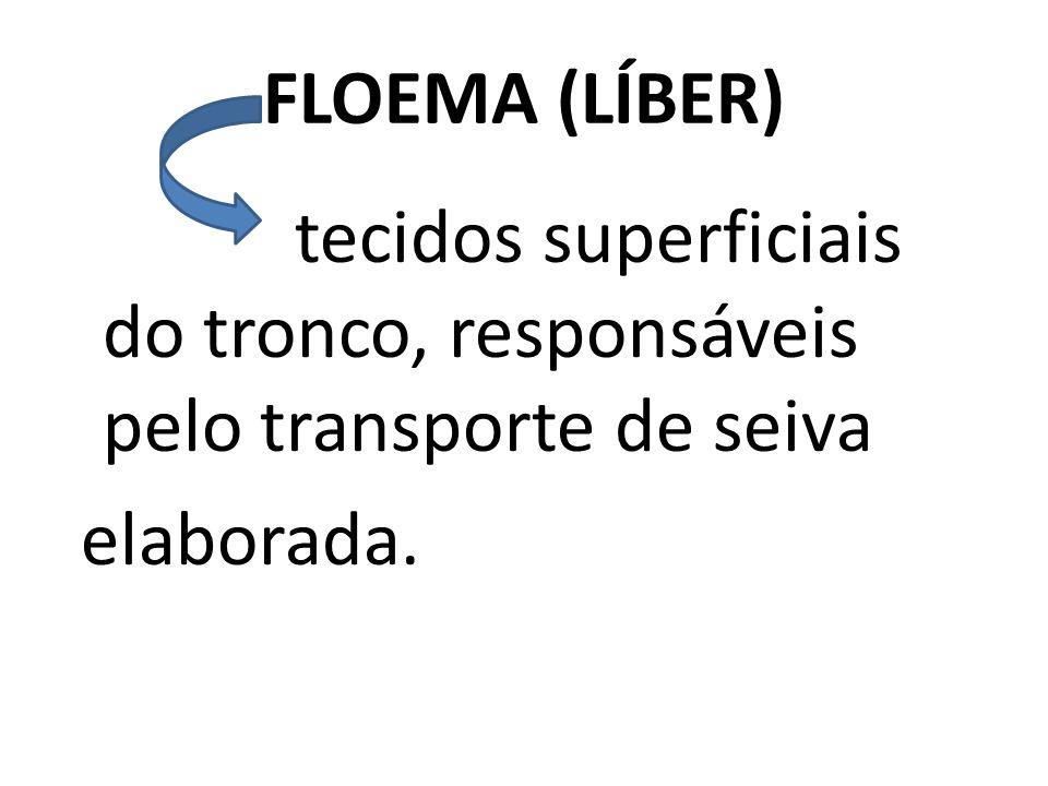 FLOEMA (LÍBER) tecidos superficiais do tronco, responsáveis pelo transporte de seiva elaborada.