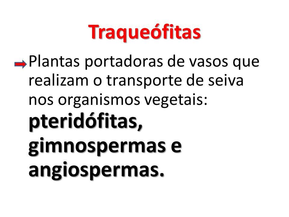 Traqueófitas Plantas portadoras de vasos que realizam o transporte de seiva nos organismos vegetais: pteridófitas, gimnospermas e angiospermas.