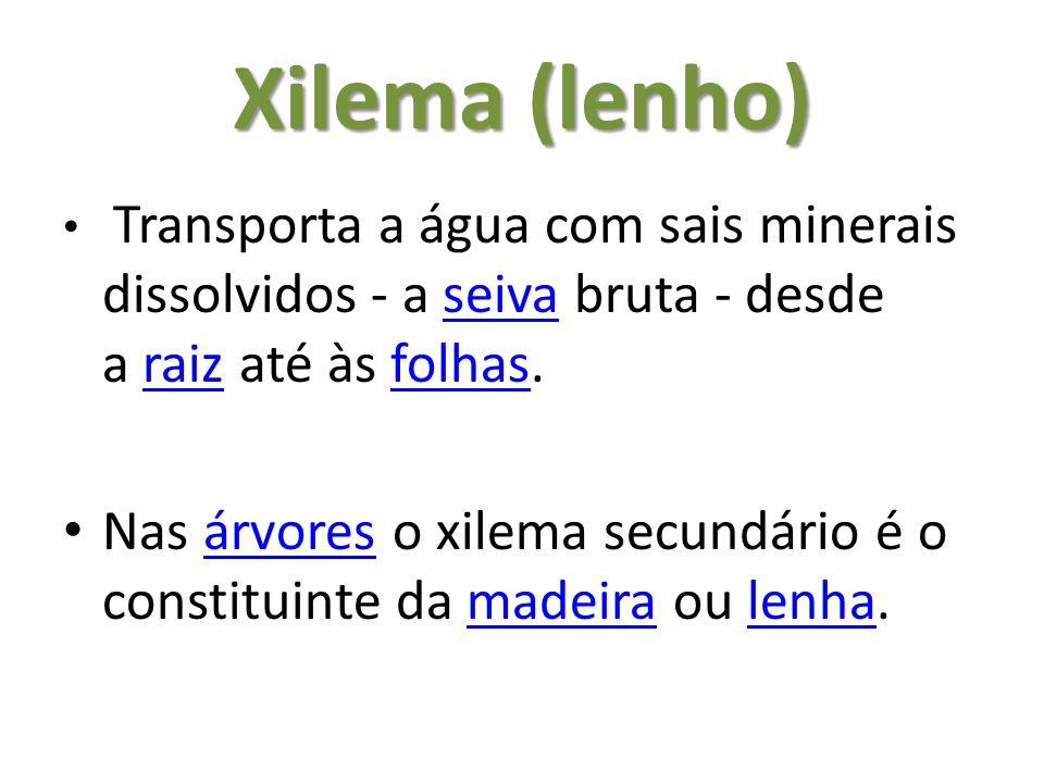 Xilema (lenho) Transporta a água com sais minerais dissolvidos - a seiva bruta - desde a raiz até às folhas.