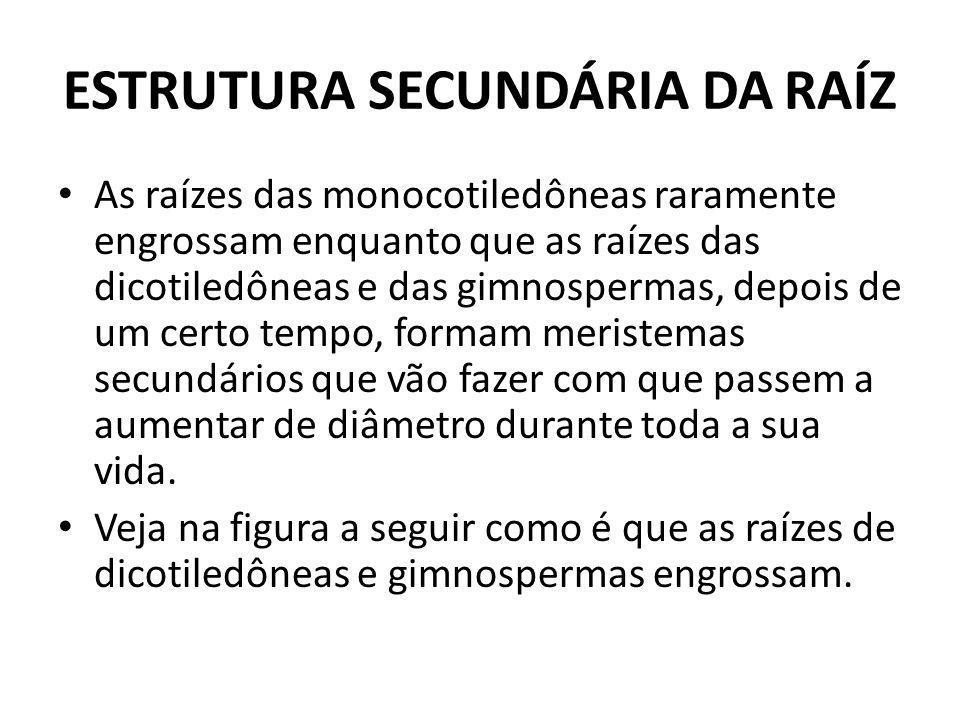 ESTRUTURA SECUNDÁRIA DA RAÍZ
