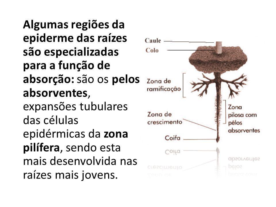 Algumas regiões da epiderme das raízes são especializadas para a função de absorção: são os pelos absorventes, expansões tubulares das células epidérmicas da zona pilífera, sendo esta mais desenvolvida nas raízes mais jovens.