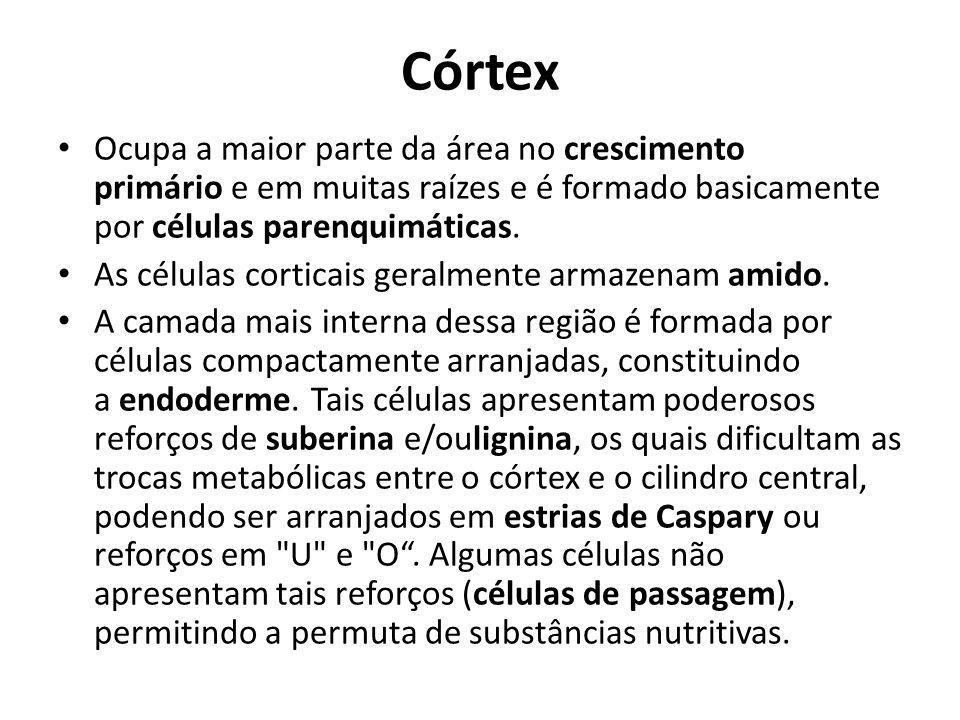 Córtex Ocupa a maior parte da área no crescimento primário e em muitas raízes e é formado basicamente por células parenquimáticas.