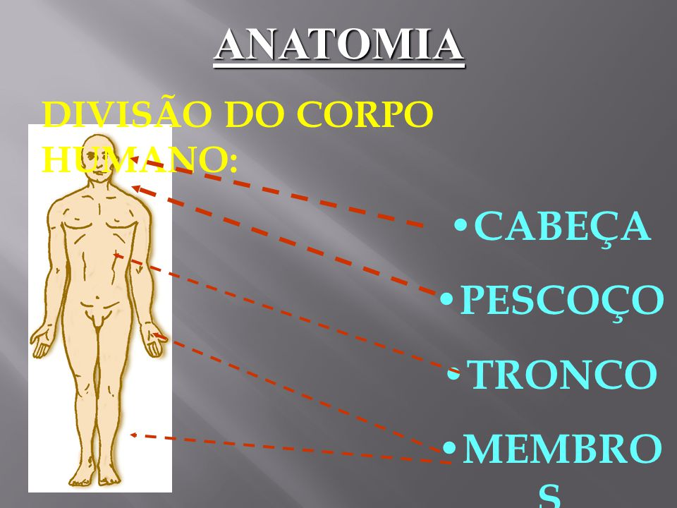 ANATOMIA DIVISÃO DO CORPO HUMANO: CABEÇA PESCOÇO TRONCO MEMBROS