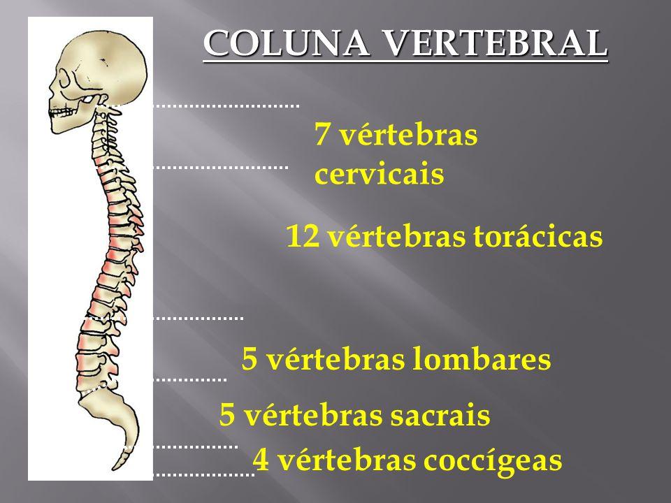COLUNA VERTEBRAL 7 vértebras cervicais 12 vértebras torácicas
