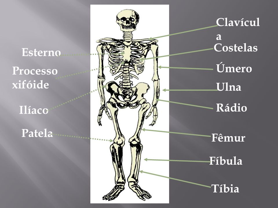 Clavícula Costelas Úmero Ulna Rádio Fêmur Fíbula Tíbia Esterno Processo xifóide Ilíaco Patela