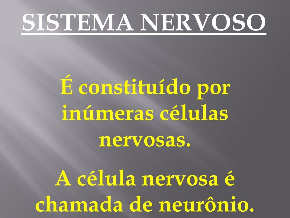 É constituído por inúmeras células nervosas.