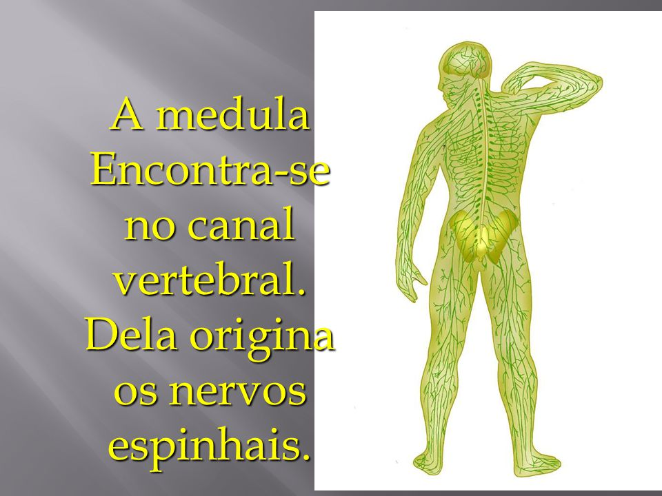 A medula Encontra-se no canal vertebral
