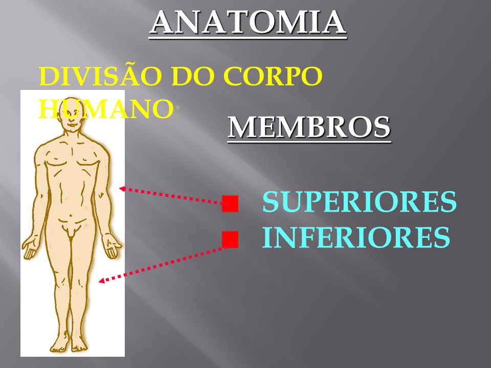 ANATOMIA DIVISÃO DO CORPO HUMANO: MEMBROS SUPERIORES INFERIORES