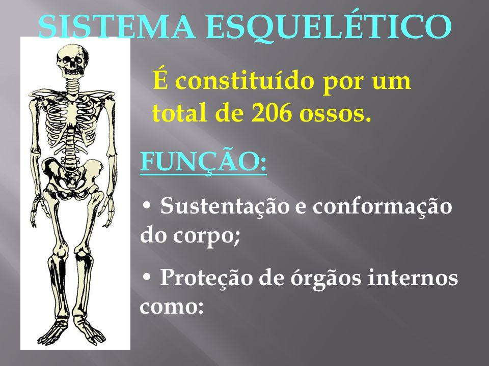 SISTEMA ESQUELÉTICO É constituído por um total de 206 ossos. FUNÇÃO: